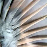 Chaffinch wing