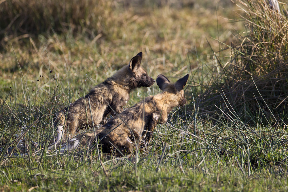 Wild Dog puppies at play.