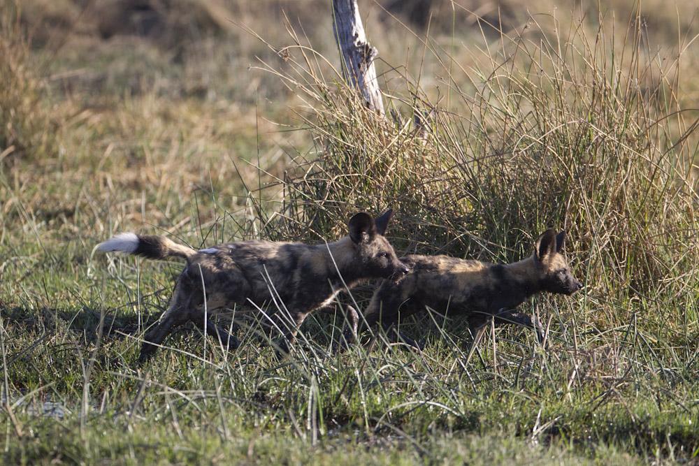 Wild Dog puppies at play.