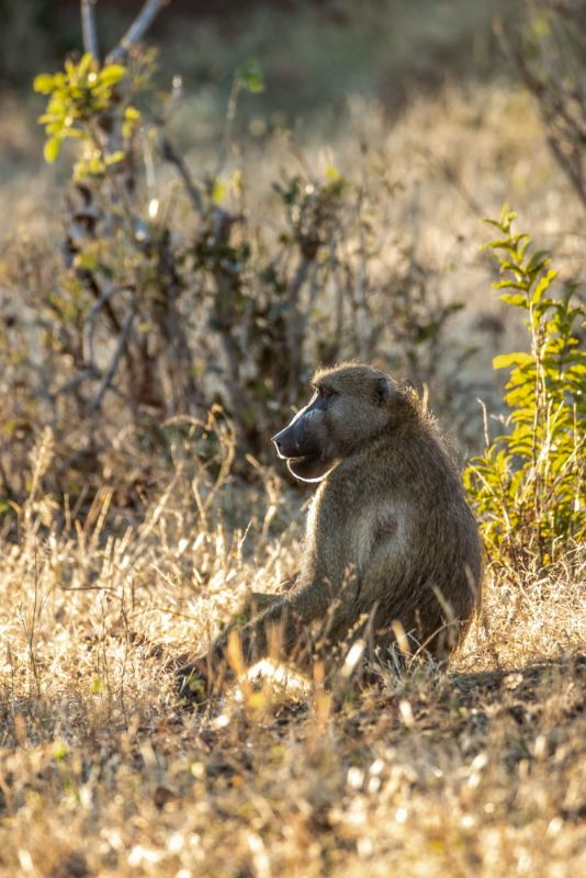 Morning Light, Baboon in Chobe NP