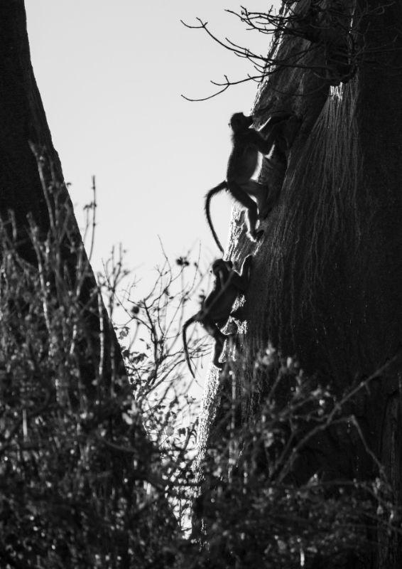 Young Baboons, Chobe