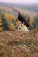 golden eagle0862