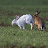 Albino Brown Hare