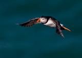 Birds of the British Coastal Regions