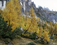 Larches by the lake