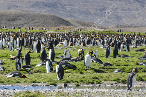 King Penguins at Fortuna Bay
