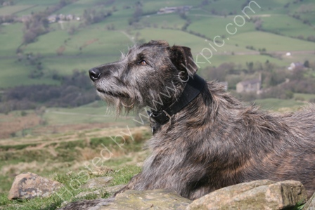 Lurcher enjoying the view