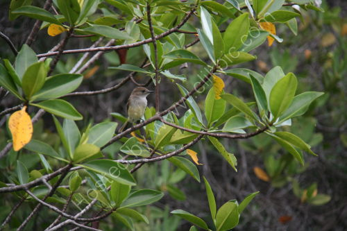 Flycatcher in Mangrove