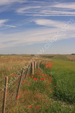 Poppies, near Warminster,Wiltshire