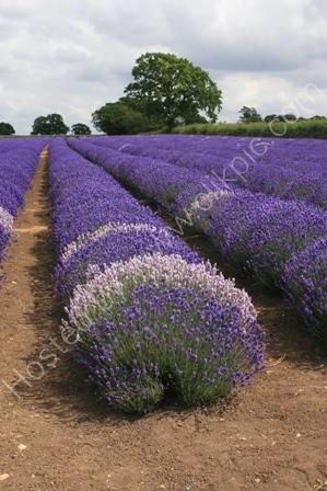 Lavender Farm, Somerset