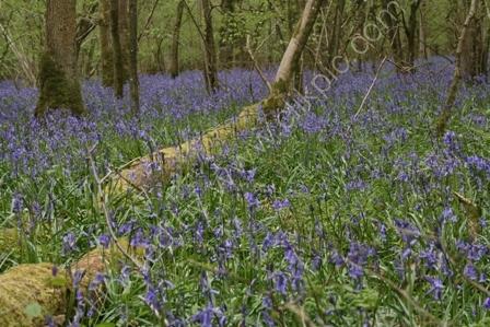 Bluebells on Great Ridge