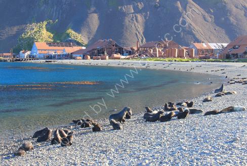 Fur Seals at Stromness