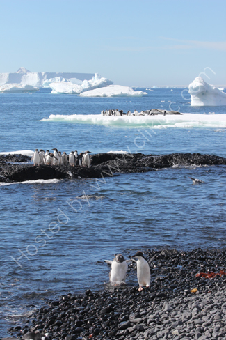 Adelie penguins at Brown Bluff