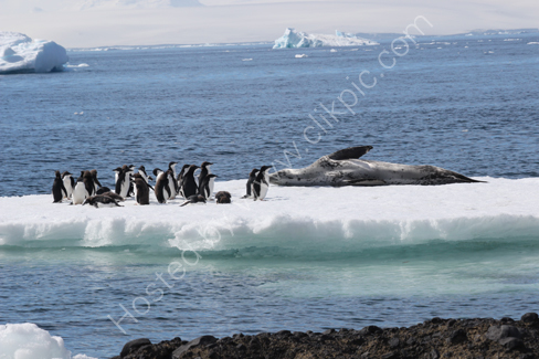 Leopard Seal and Adelie Penguins