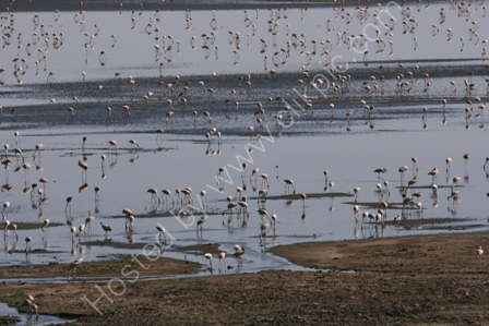 Lesser Flamingoes, Lake Manyara