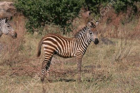 Zebra Foal, Lake Manyara