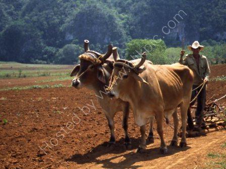 Farmer Ploughing near Vinales
