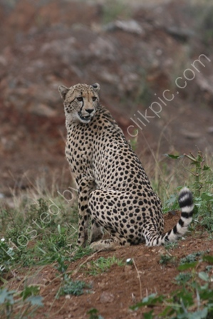 Young Adult Cheetah