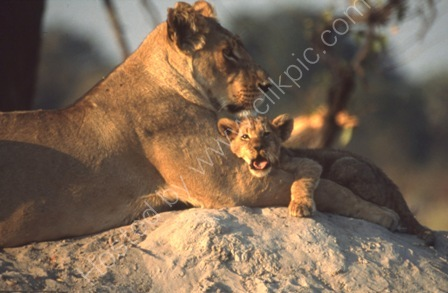Lioness and Cub, Botswana