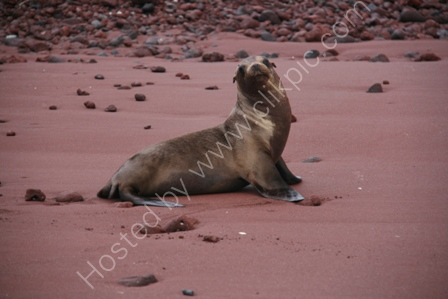 Sealion on Beach