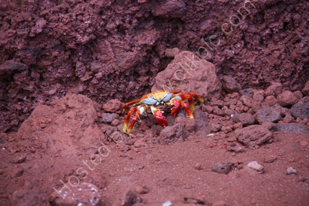 Sally Lightfoot Crab, Rabida Is