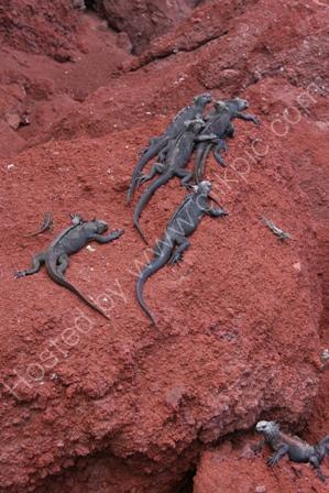 Marine Iguanas, Rabida