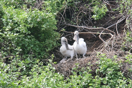 Pelican Chicks