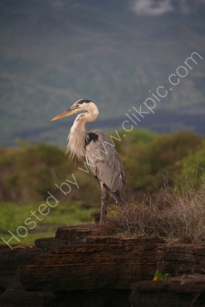 Great Blue Heron, Santiago Island