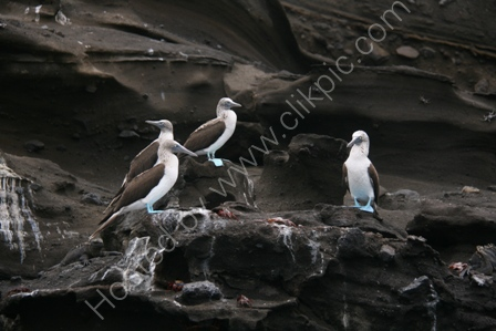 Blue Footed Boobies, Galapagos Is