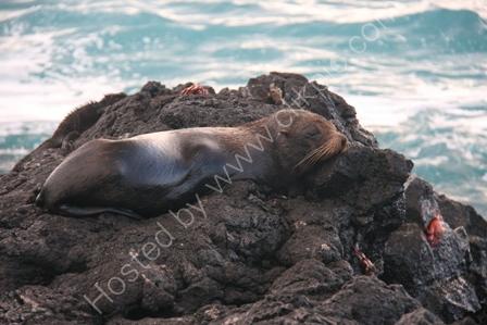Fur Seal, Santiago Island