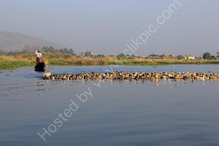 Herding Ducks on Inle Lake