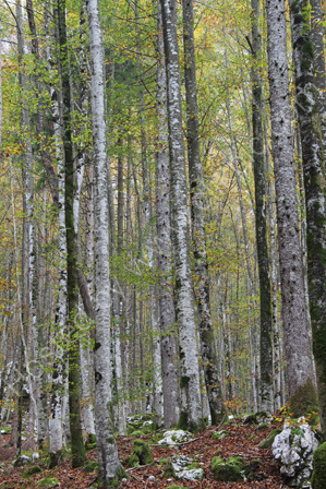 Silver Birch trees in Autumn