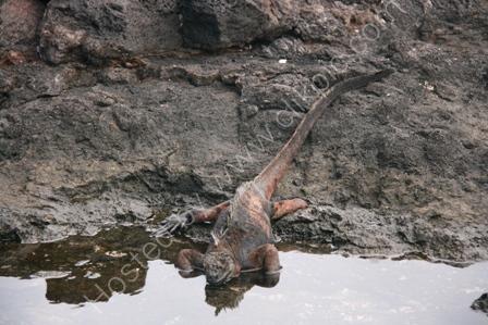 Marine Iguana Drinking