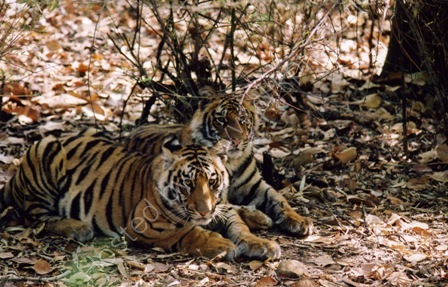 Young Tigers in the Wild