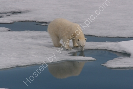 Polar Bear Sipping Melt Water