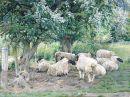 Sheep and May Blossom