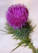 Common thistle (cirsium)