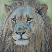 Shamwari Lion SA Oil on canvas