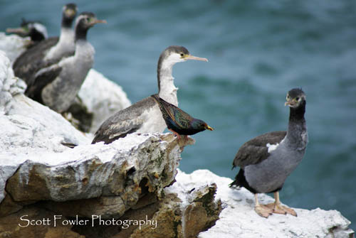 2 Starling Amongst the Shags