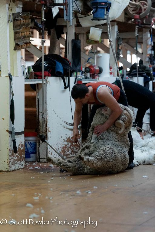 Shearing August 2016-50