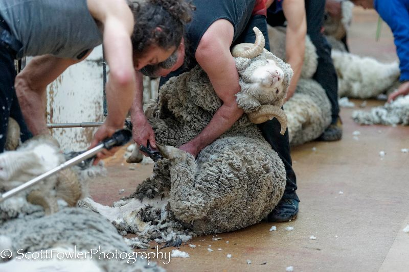 Shearing August 2016-53