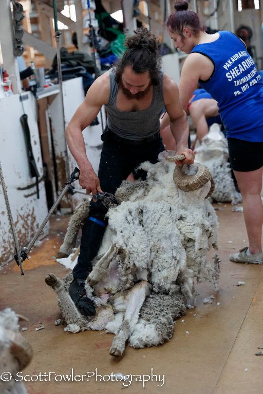 Shearing August 2016-54