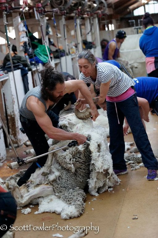Shearing August 2016-55