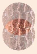 Ichthys Variation #ii