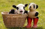 Panda lamb