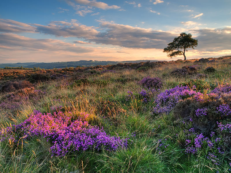 First heather of summer