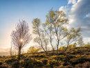 Back lit birches