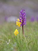Early Purple Orchid & Cowslips in Cressbrook Dale