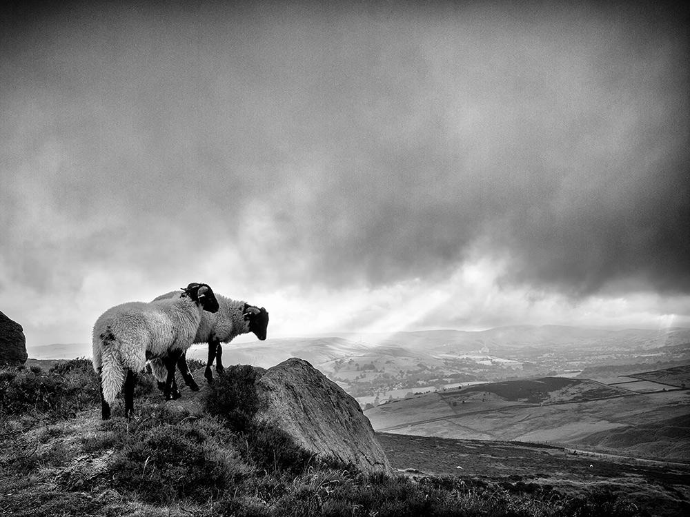 Lambs on Higger Tor