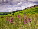 Foxgloves at Stanage